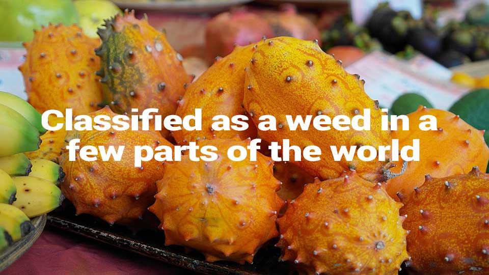 Facts About Kiwano Fruit 1