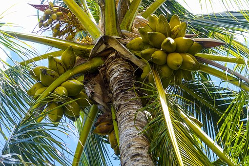 Interesting facts about Coconut tree.