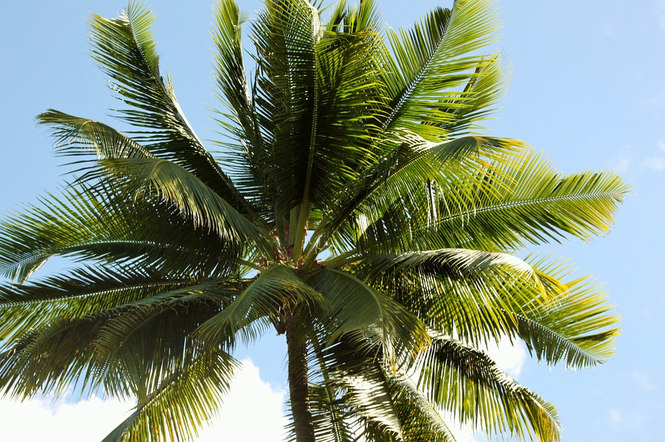 interesting facts about coconut tree