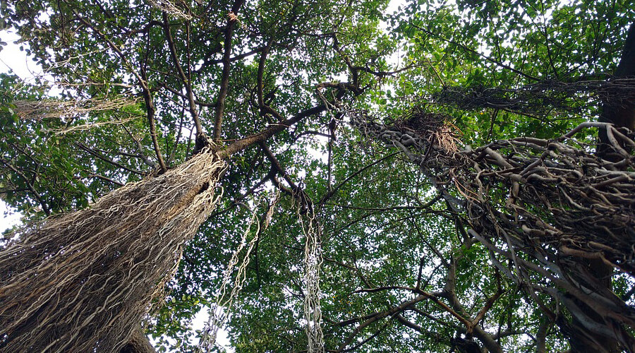 About Banyan Tree