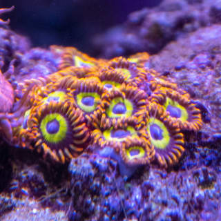 Originally sold to me as Emeralds on Fire, these are actually Fruit Loop zoanthids.