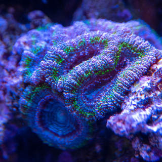 It may not look like much amid the purple coraline algae, but the purples and blues in this Micromussa lord are just stunning.