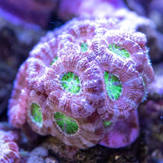 I love this Micromussa lord because it is pretty conservative on the surface (tan and lavender), but underneath it has a glowing green mouth. Some of the polyps even have bi-color mouths (neon purple and green).