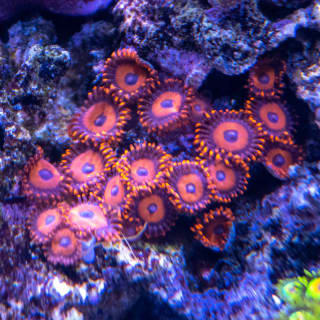 Another descendent from my old tank, Oxide zoanthids originally from Cultivated Reef.