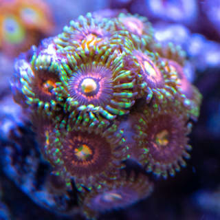 These Rainbow Incinerator zoas blew me away at the Zoanthids.com booth at a reefing tradeshow, so naturally they had to come home with me. They're growing strong too.