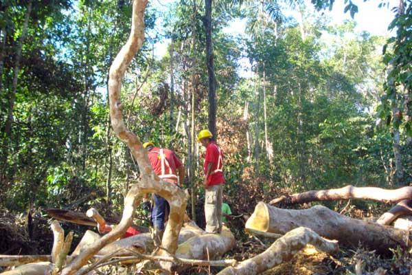 Empresários aproveitam galhos deixados na floresta amazônica