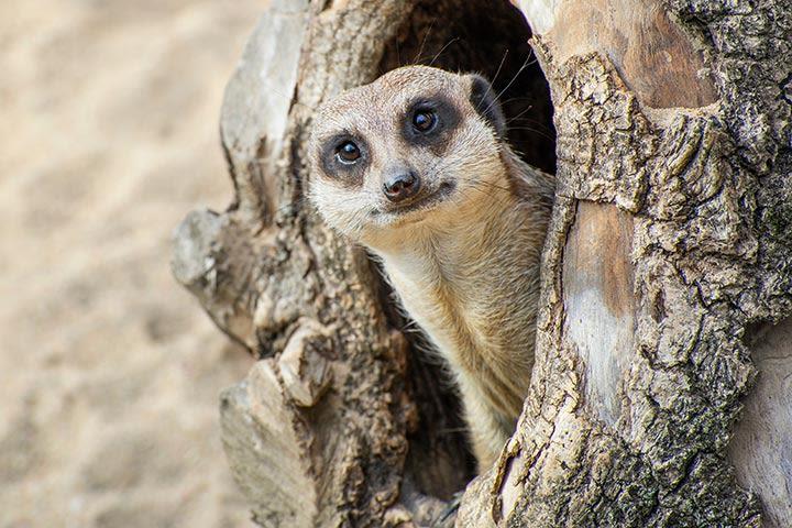 Meerkat Encounter for One at Ark Wildlife Park