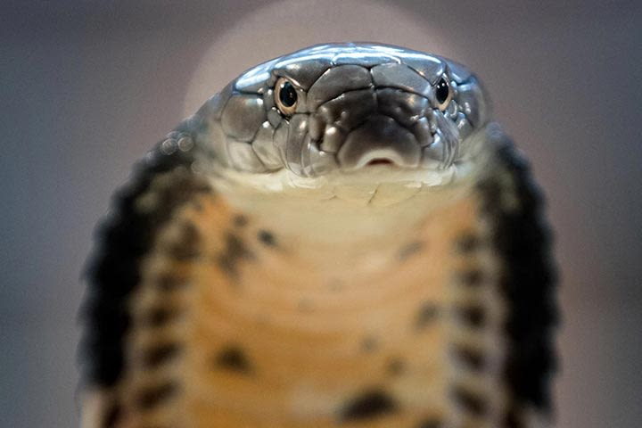 Venomous Snake Show for Two