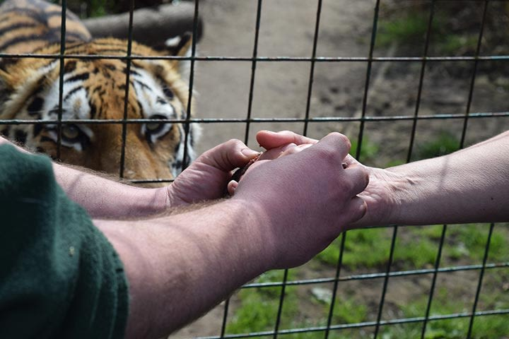 Feed the Big Cats at Paradise Wildlife Park