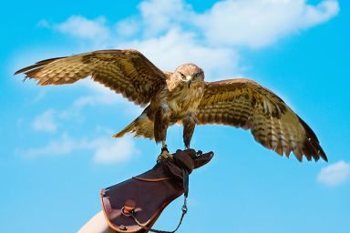 Falconry - Half Day