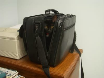 A tiny black kitten peeks out from inside a black leather laptop bag