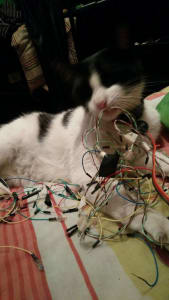 A white cat with black spots gnaws on a loose knot of wires and LEDs