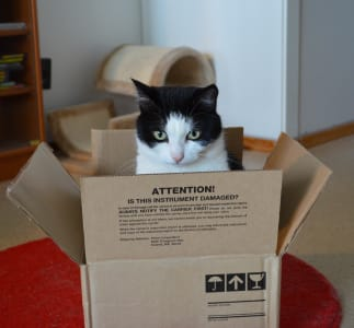 A white cat with a black hood peeks out of a cardboard box