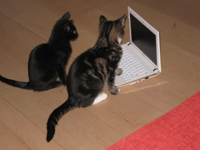 Two dark kittens investigate a small white laptop
