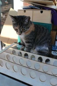A tabby kitten sits on an unfinished project. The project is thin strips of wood with many identical holes cutout of the broadside.