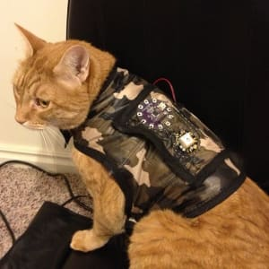 Orange cat wears a black and white vest that has wearable electronics attached to it