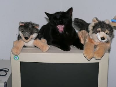cat, mid yawn, sprawled atop an older computer display between two toy stuffed wolves.