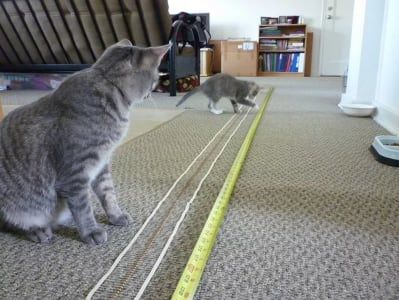 two cats look at a measuring tape spread out on the floor. One cat bats at the measuring tape.