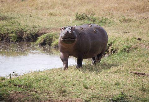 NgorongoroCraterHippo