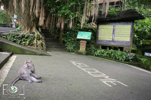 MacaquesMonkey
