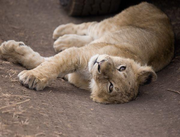 Lion Cub Ngorongo