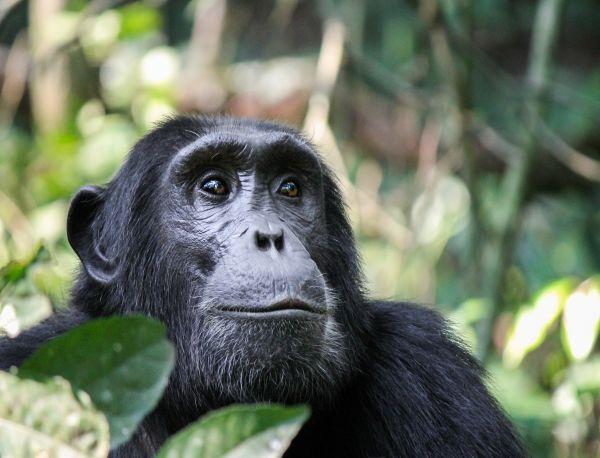 Gombe Chimpaneze