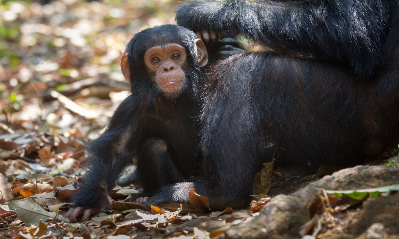Baby Chimpaneze