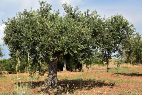 xoxo olivenöl extra vergine 100% natürlich