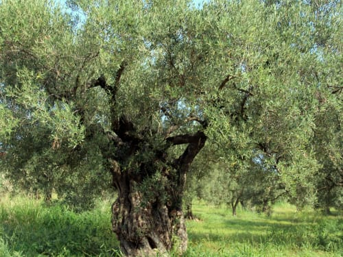 xoxo olivenöl extra vergine aus natürlichem anbau