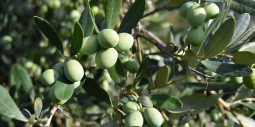 olivenöl von xoxo aus handgepflückten oliven