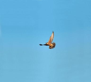 En falk flyger under en klarblå himmel.