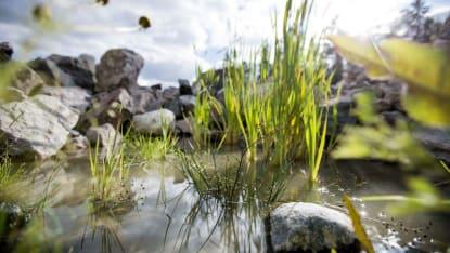 Fokusbild på växter som sticker upp ur grunt vatten, med stenar i bakgrunden.