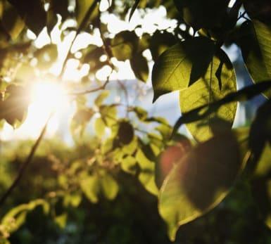 The sun shines through leaves.
