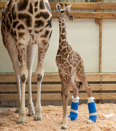 Animal Prosthetics - © Attention Deficit Disorder Prosthetic Memory Program