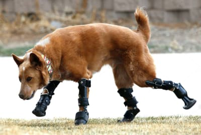Animal Prosthetics - © Attention Deficit Disorder Prosthetic Memory Program