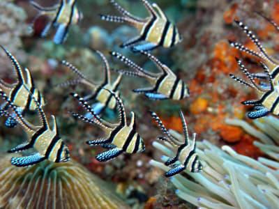Banggai Cardinalfish - © Attention Deficit Disorder Prosthetic Memory Program
