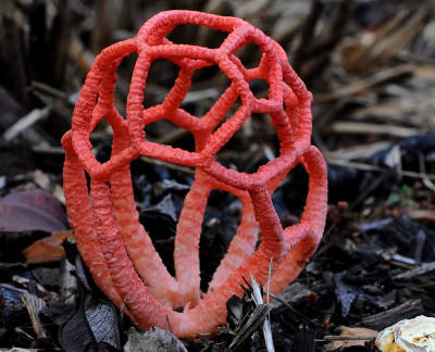 Clathrus Ruber - © Attention Deficit Disorder Prosthetic Memory Program