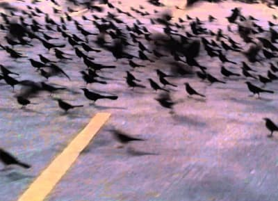 Grackels Invade Walmart Parking Lot - © Attention Deficit Disorder Prosthetic Memory Program