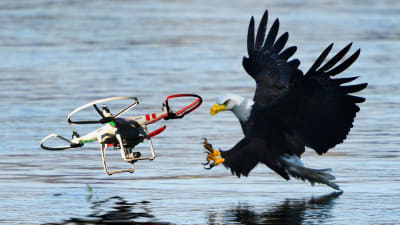 Drone Hunting Eagles - © Attention Deficit Disorder Prosthetic Memory Program