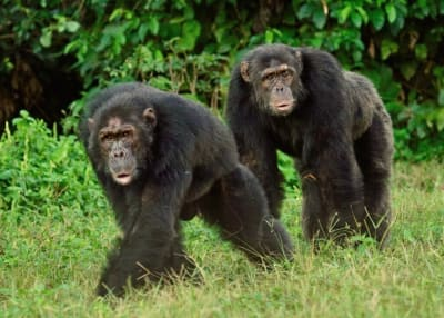 Gombe Chimpanzee War - © Attention Deficit Disorder Prosthetic Memory Program