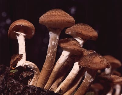 Armillaria Ostoyae - © Attention Deficit Disorder Prosthetic Memory Program