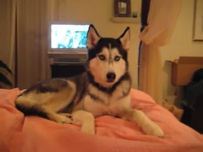 Husky Dog Talking - © Attention Deficit Disorder Prosthetic Memory Program