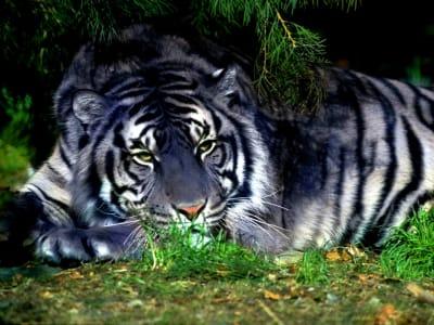 Maltese Tiger - © Attention Deficit Disorder Prosthetic Memory Program
