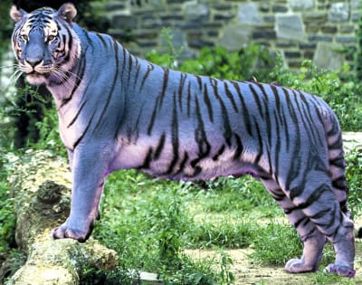 Maltese Tiger - © Attention Deficit Disorder Prosthetic Memory Program