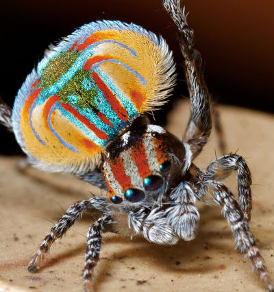Maratus Spider - © Attention Deficit Disorder Prosthetic Memory Program