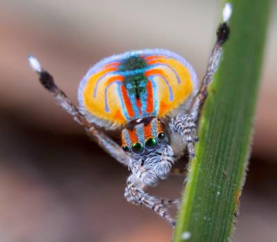 Maratus Spider - © Attention Deficit Disorder Prosthetic Memory Program