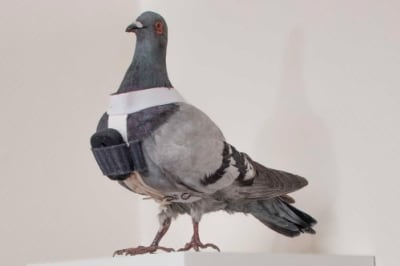 Pigeon Photography - © Attention Deficit Disorder Prosthetic Memory Program