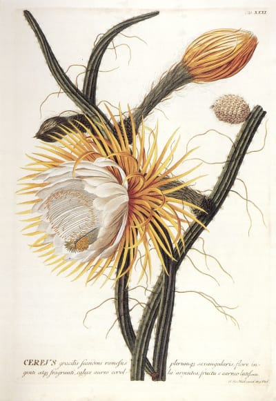 Selenicereus grandiflorus - © Attention Deficit Disorder Prosthetic Memory Program
