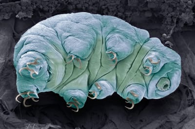 Tardigrades In Outer Space - © Attention Deficit Disorder Prosthetic Memory Program