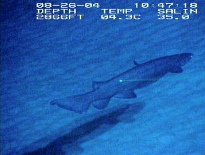 The Frilled Shark - © Attention Deficit Disorder Prosthetic Memory Program
